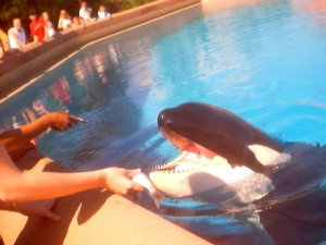 sept-feeding hedstrom the orca whale at marine land canada