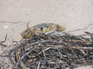 crab on our private beach